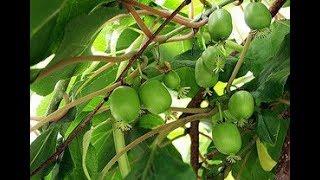 АКТИНИДИЯ   КРУПНОПЛОДНАЯ. Вьющееся декоративное и плодовое растение