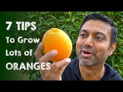 7 Tips To Grow Lots Of Oranges