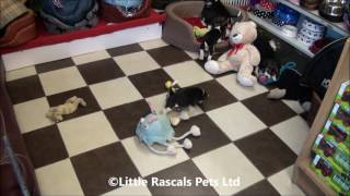 Little Rascals Uk Breeders New Litter Of