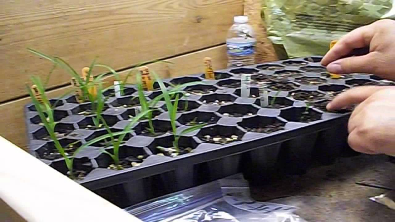 How To Grow Daylily Seeds Part 4 Planting Seedlings In Pots