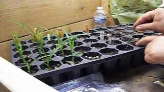 How to Grow Daylily Seeds ❀ PART 4 ❀ Planting Seedlings in Pots