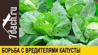 Без химии! Простые средства от вредителей капусты - 7 дач