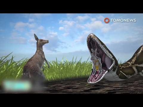 빠른 속도로 뛰어다니는 왈라비를 잡아먹는 뱀 한마리의 모습 포착돼