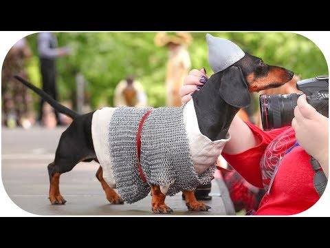 Dachshunds Parade 2019 from Doxie Din POV!