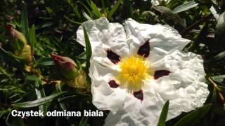 394. Zięba zwyczajna Zwierzę Mocy Totem Szamanka Zielarka Rytualistka Maria Bucardi