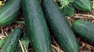 खीरा की खेती बिना पॉलीहाउस के कैसे करें