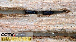 [国际财经报道]热点扫描 树皮甲虫来袭 德国军队加入灭虫战| CCTV财经