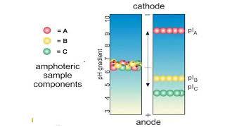Isoelectric focusing gels II Protein Electrophoresis