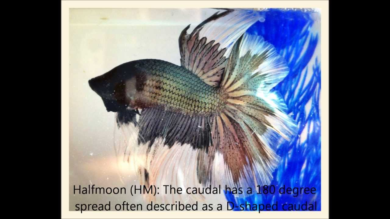 Betta Anatomy - YouTube