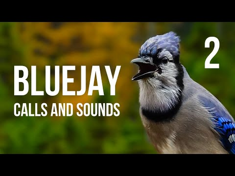 Blue Jay Calls And Sounds Part 2 Youtube