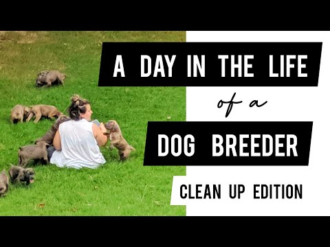 Dog Breeding 101: Cleaning up after Cane Corso Puppies