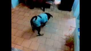 Indian Rottweiler Named Tiger Chasing Laser Light