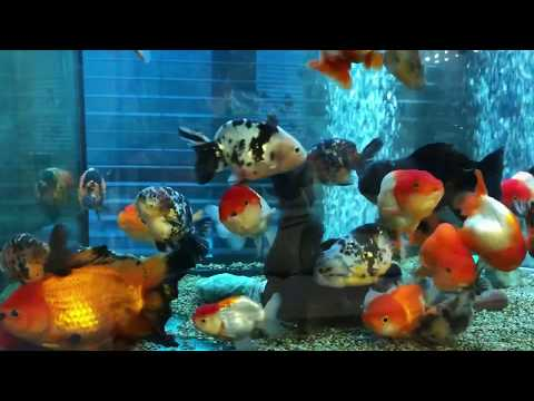 3000 Mm Goldfish Tank