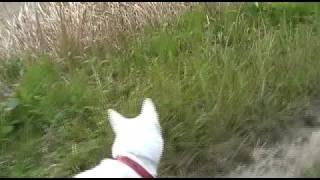 紀州犬の散歩の光景を撮影しました。