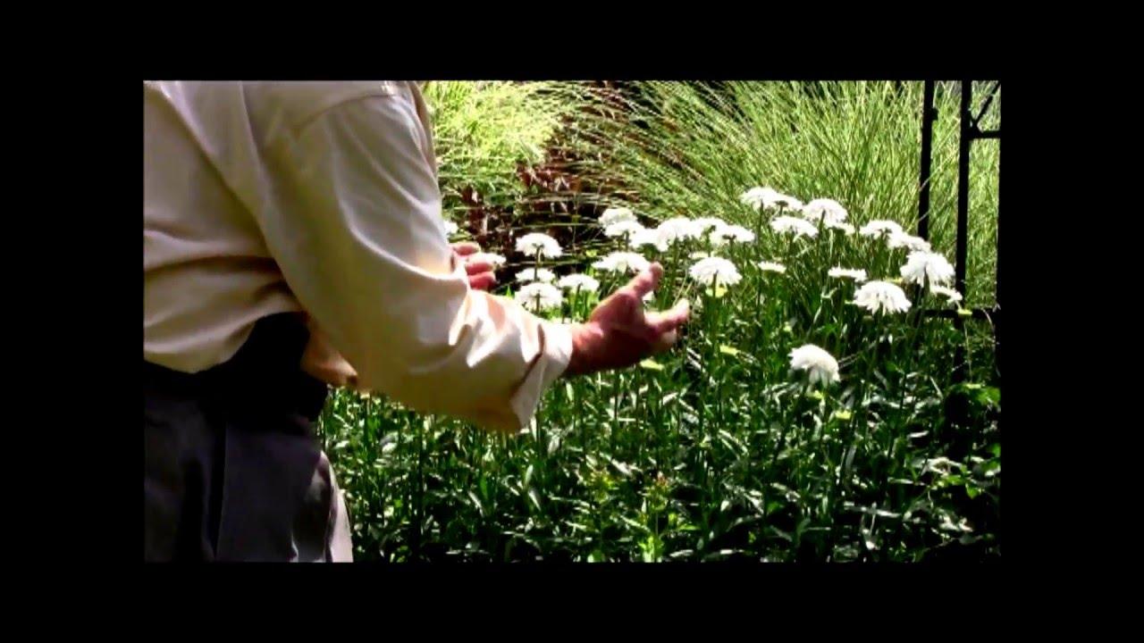 Best Flowering Perennials Shasta Daisy Ice Star Youtube
