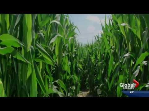 Global News Calgary - Google Maps Business View Corn maze blooper