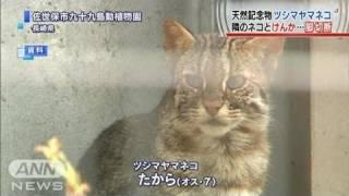 けんかで前脚切断 天然記念物ツシマヤマネコ(11/12/10) ツシマヤマネコ 検索動画 20