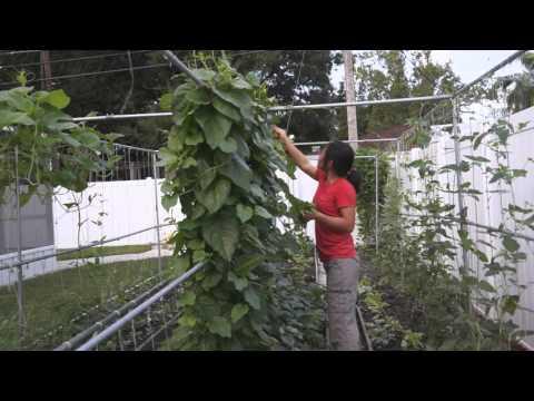 how-to-grow-malabar-spinach-(木耳菜)