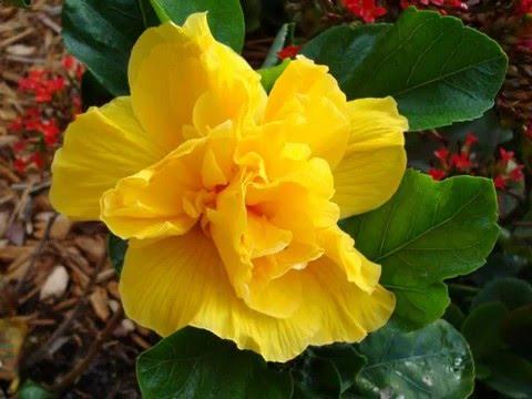 гибискус китайская роза и ее виды