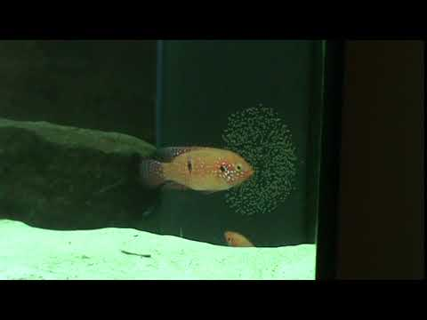 Red Jewels breeding, massive egg lay