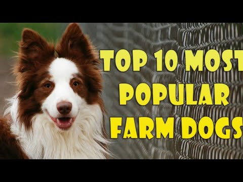 TOP 10 MOST POPULAR FARM DOGS - All About Dogs