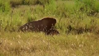 タンザニア セレンゲティ国立公園 -ライオンの交尾‐/Tanzania, Serengeti Safari Tour