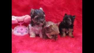 Puppy - Yorkshire Terrier Puppy  - Biewer Puppy- Golddust Yorkie