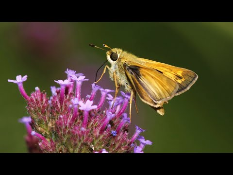 Homegrown | Attracting Butterflies to Your Landscape