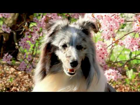 Marnie Sheltie ❤ Amazing Dog Tricks ❤