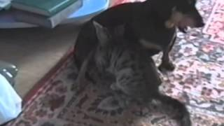 Кошка сосет молоко у собаки