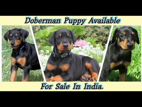 Doberman Puppies For Sale | Dogs Price List [2019]