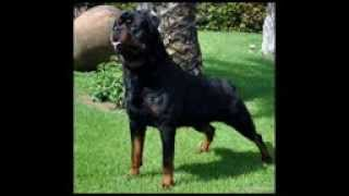 ROTTWEILER VS PITBULL  FIGHT   YouTube