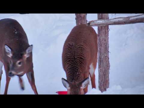 Deers Eating in my Backyard / Chevreuils qui se nourissent dans ma cours arrière.