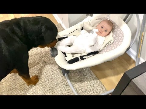Big Rottweiler bonding with Baby. CUTE |65