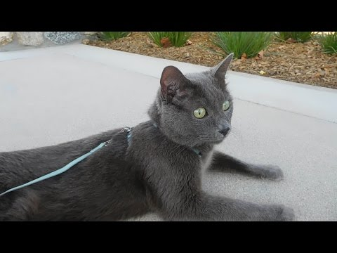 'Russian Blues' Are The Best Breed Of Cats!! (DAV# 4)
