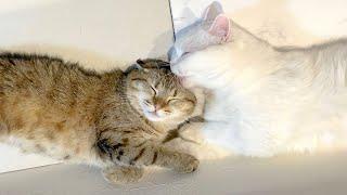 寝ている隙に顔を舐めまくって怒られちゃう先輩猫!