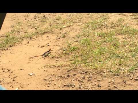 The attraction between Ivory Coast Lizards
