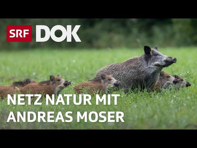 Wildschweine gehen viral | NETZ NATUR mit Andreas Moser | Doku | SRF DOK