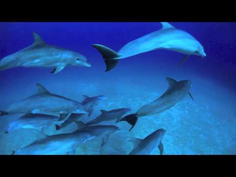 Wild Dolphins of the Bahamas