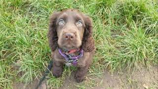 Lyra the 14 week old Cocker Spaniel Puppy - 3 Weeks Residential Dog Training
