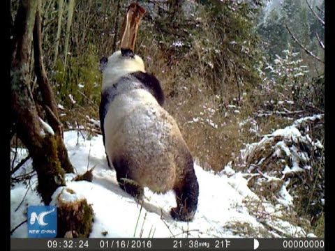 Wild giant panda smells meat in snowy Chinese forest