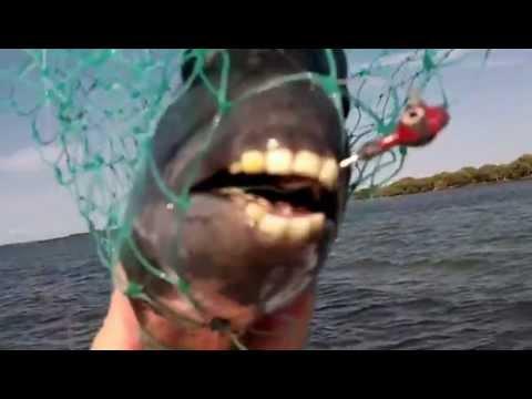 Fish With Human-Like Teeth. - YouTube