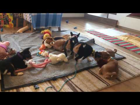 Basenji puppies almost 7w