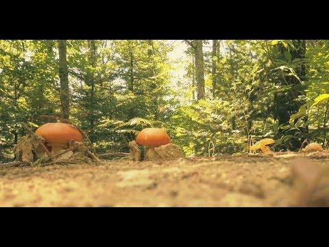 Самое вкусное лакомство на Земле: цезарский мухомор