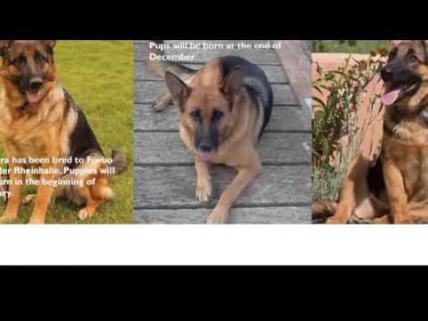 Baerental German Shepherd Puppies For Sale In Houston Texas Youtube