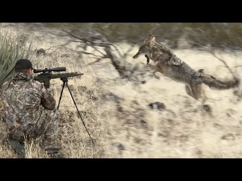 Coyote Hunting Tips + Calling Coyotes Into Attack Range + Predator Dogs Dirt Nap