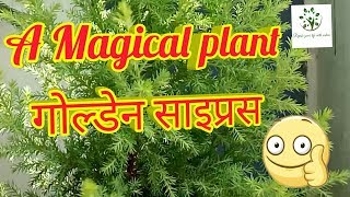 Ep 31    how to care golden cypress plant in hindi   differences  between christmas trees  