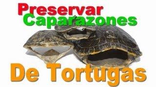 Caparazón de Tortuga Disecado / Tutorial