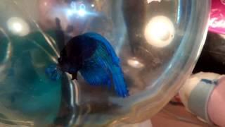 Рыбка петушок(рыба, петушок,уход за рыбкой)