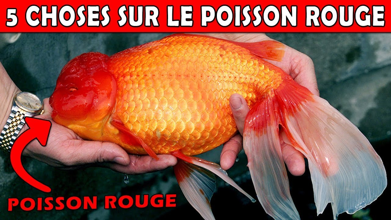 Le poisson rouge le plus gros du monde eublepharis youtube - Poisson image ...